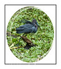 This little blue heron has its feathers ruffled up because it has just driven away another bird.  View in the largest sizes to see the feather and head details.
