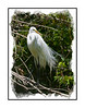 A great white egret, photographed at the Audubon Corkscrew Sanctuary in southern Florida; view in the largest sizes to see the feather detail.