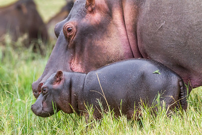 Mother and newborn baby hippopotamus calf, Queen Elizabeth National Park, Uganda.