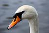 My friendly female mute swan at Culzean