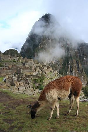 Llama grazing at Machu Picchu, Peru.