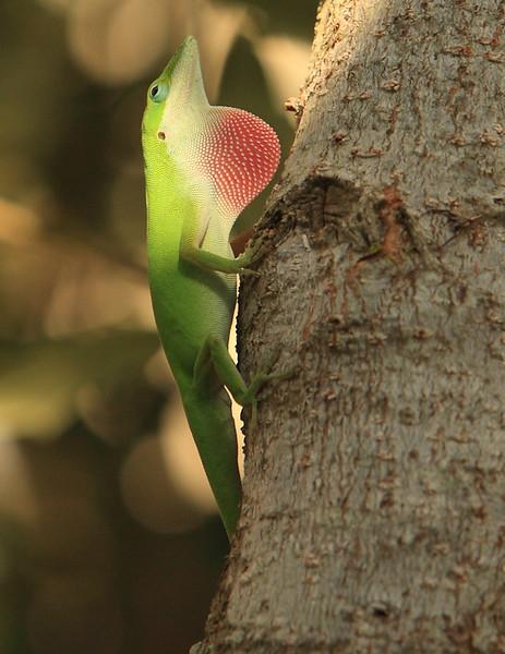 Lizard0007