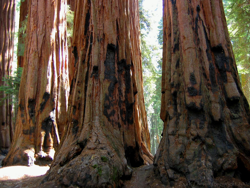 Big Trees, Sequoia N.P.