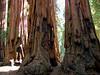 Big Trees, Sequoia N.P.