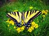 Butterfly Macro, Kings Canyon N.P.
