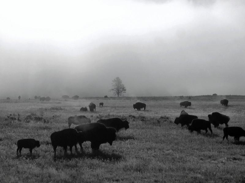 """""""Buffalo in the Mist"""" Haydon Valley,Yellowstone NP."""