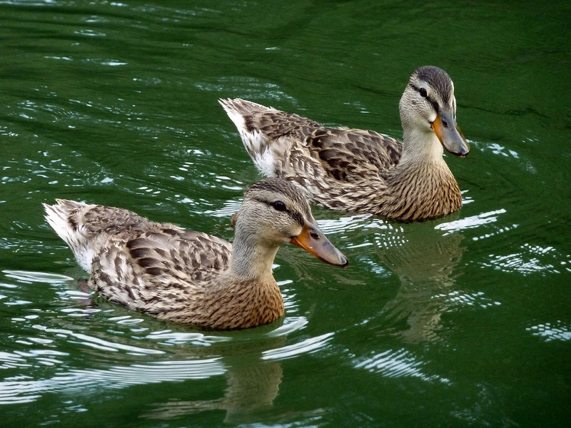 Young Mallards on the French Broad River.