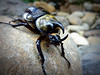 Eastern Hercules Beetle. Largest Beetle in the United States. Found in Seymour,TN.