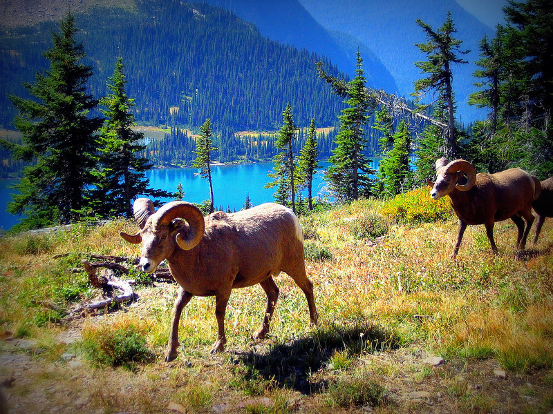 Bighorn Sheep above hidden lake, Glacier N.P.