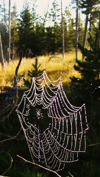 Early morning dew hanging from a web,Yellowstone NP.