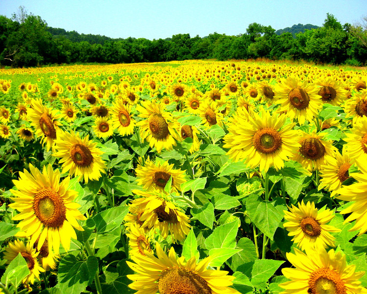 Field of Sunflowers,Forks of the river WMA