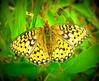 Butterfly in a meadow, Yellostone,NP