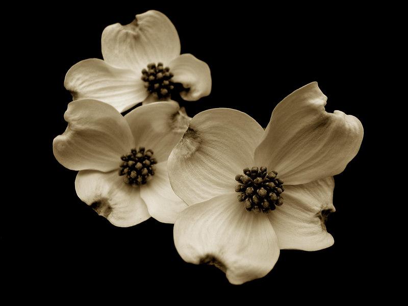 Dogwood flowers,TN