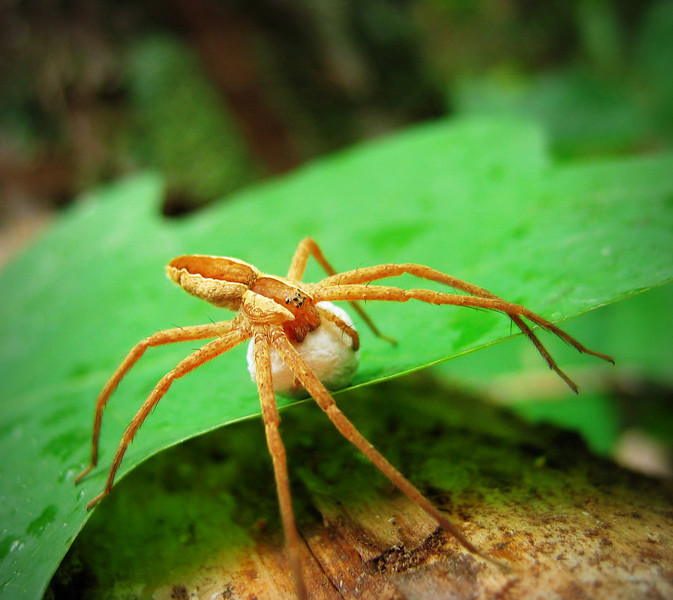 Nursery-web spider carrying eggsac, Cherokee National Forest