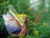 Praying Mantis defending its territory, TN