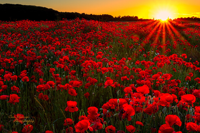 Poppies in the sunset