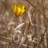 June 12: California poppy and dried oat grass, Santa Teresa Park.
