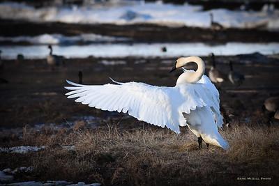 Trumpeter Swan, Creamers Field, Fairbanks, Alaska