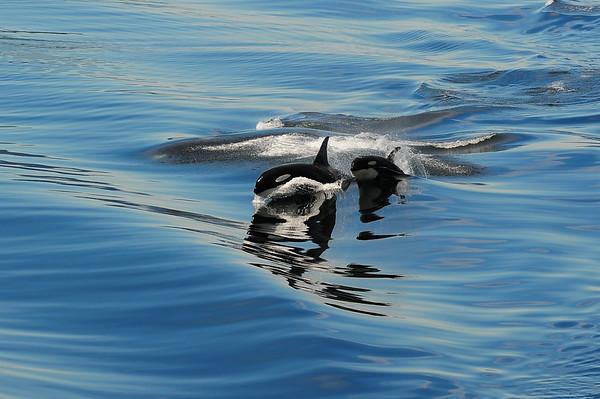 Orcas riding the wake of the ferry Matanuska, Peril Strait, Alaska