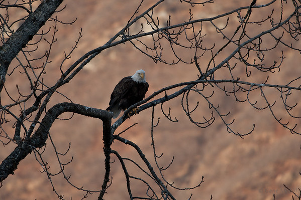 Bald Eagle, Robe River, Alaska