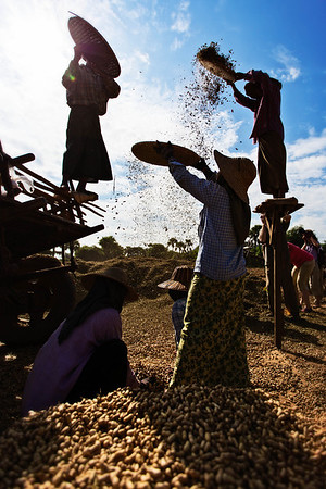 Peanut Harvesting
