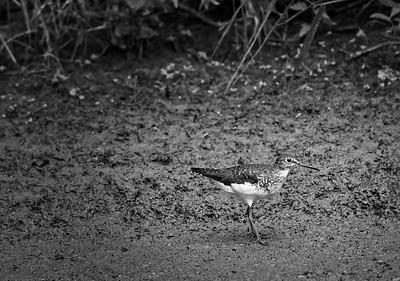 Curious Sandpiper - Muskoka, Canada