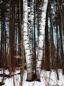 Trio of Birches - Whitchurch-Stouffville, Ontario CANADA