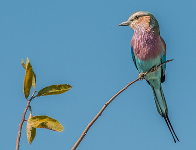 Z1_2006_A_Lilac-breasted Roller