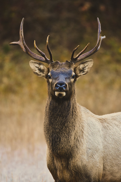 """Bull Elk Portrait"""