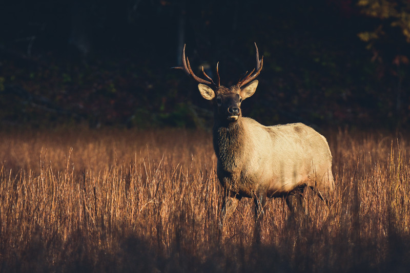 """Elk In Morning Light"""