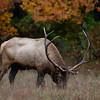 """""""Autumn Elk"""""""