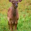 """""""Young Elk Calf"""""""