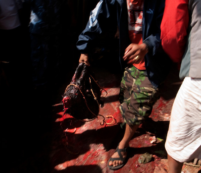 DASHAIN FESTIVAL. 9 th DAY. THE SACRIFICE OF THOUSENDS OF GOATS IN THE KALIKA MANDIR TEMPLE. GORKHA. NEPAL.