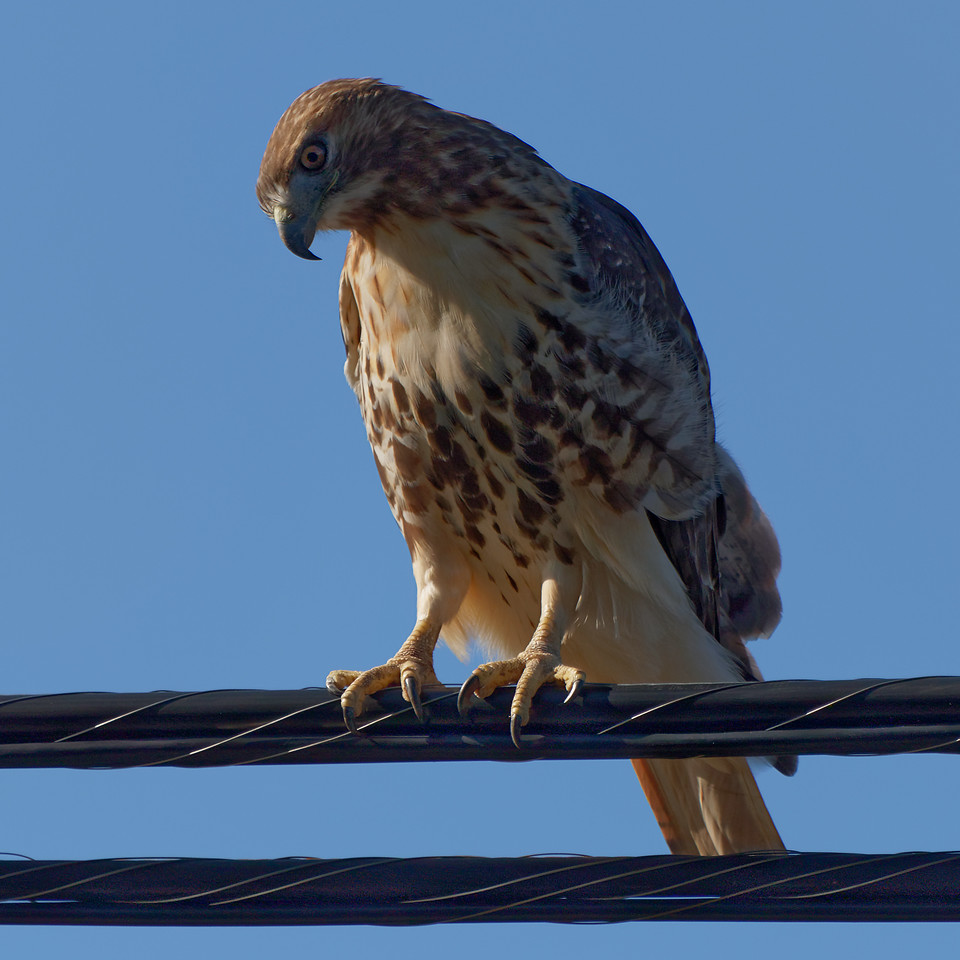 """""""Bird On A Wire""""<br /> (Red-tailed Hawk - Buteo jamaicensis)"""