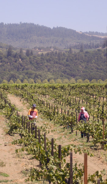 Workers tending the grapes