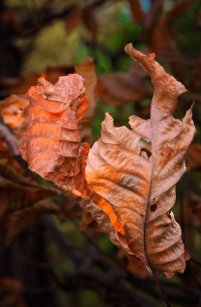 """Autumn Leaves #1,'Chicago, 2010"