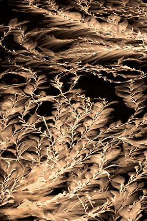 Infrared image of kelp floating on the top of water