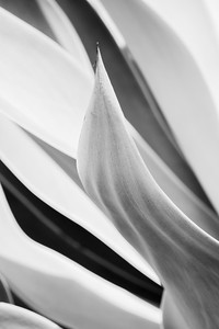 Close up black and white image of desert succulent