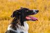 9/1/2012 - Elizabeth Craver's Jake (Therapy Dog).