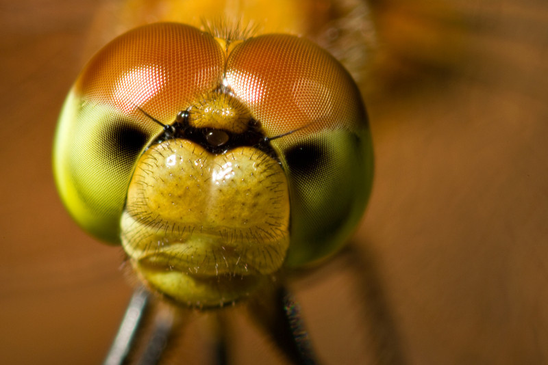 Face to face with a dragonfly, Massachusetts