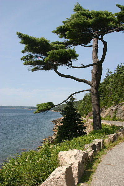 Fjord and Tree in Maine