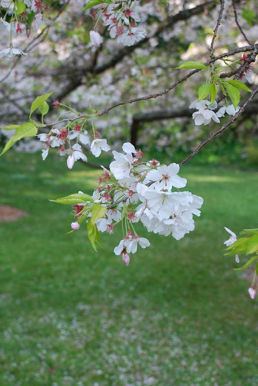 cherry blossoms<br /> Golden Gate Park<br /> San Francisco