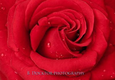 Ingrid Bergman red rose-17