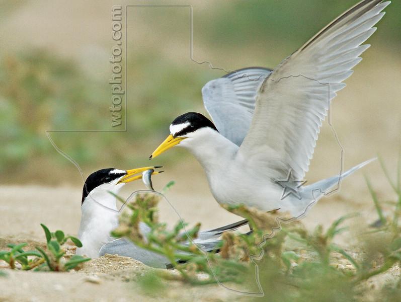 Least Terns Nest Feeding,<br /> Bolivar Flats, Texas