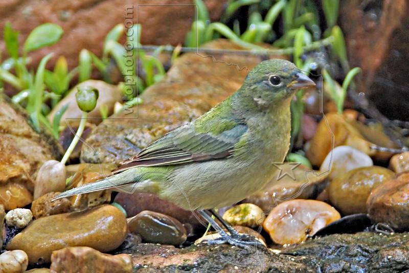 Indigo Bunting, Female,<br /> Quintana Neotropical Bird Sanctuary, Freeport, Texas