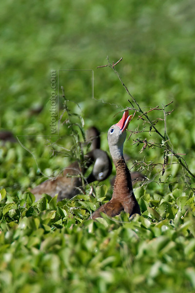 Black-bellied Whistling Duck, Feeding,<br /> Brazos Bend State Park, Texas