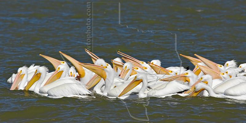 Whilte Pelicans,<br /> San Louis Pass, Texas