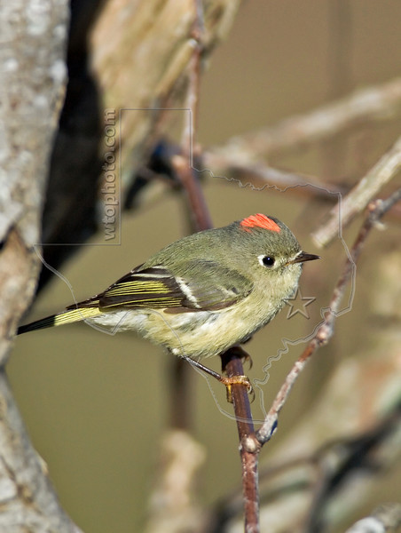 Ruby-crowned Kinglet,<br /> Brazos Bend State Park, Texas