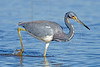 Tricolored Heron,<br /> Brazoria National Wildlife Refuge