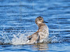 Gadwall Duck, Male, Bathing,<br /> Brazoria National Wildlife Refuge, Texas